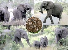 Gajah dan Lebah
